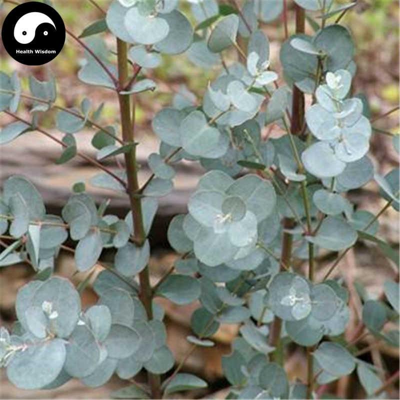 شراء الفضة الدولار شجرة Semente 30 قطع مصنع الكافور الرمادي ل يين يي An
