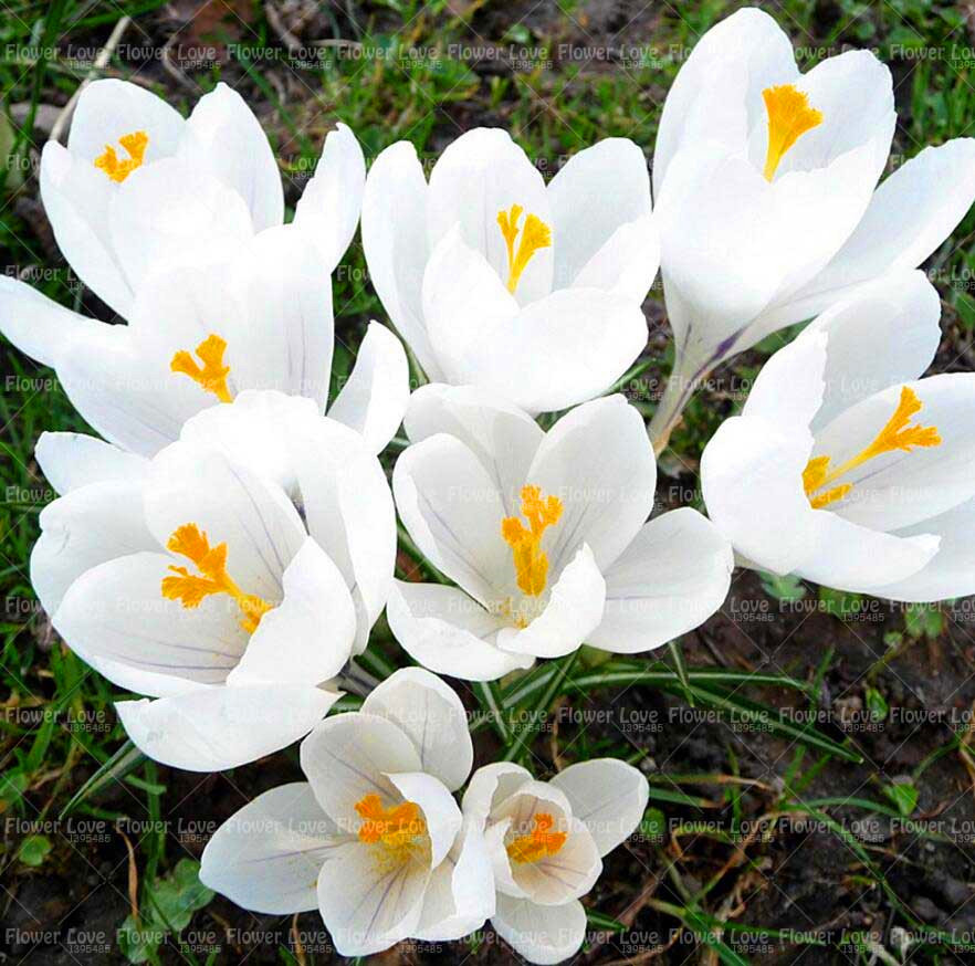 2 bulbs white saffron bulbs rare crocus sativus flower bonsai flower 2 bulbs white saffron bulbs rare crocus sativus flower bonsai flower bulbs perennial potted plant for home garden in bonsai from home garden on mightylinksfo