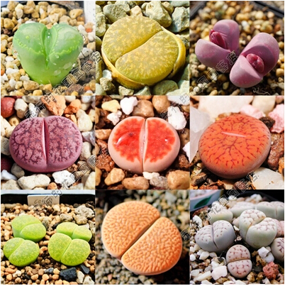Imported Raw Stone Flower Seeds Succulents It Has Sucked The Effect Of Formaldehyde And Purify Air 120PCS Seeds