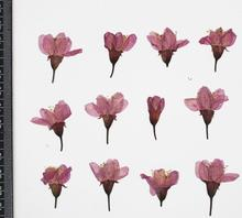120pcs Pressed Dried Cherry Sakura Flower Plants Herbarium For Resin Jewelry Making Postcard Frame Phone Case Craft DIY