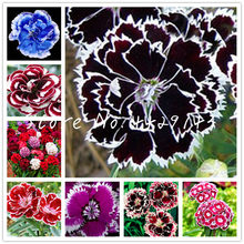 100 Pcs Carnation Bonsai Perennial Dianthus Flower High Survival Rate Mother Flower Bonsai Rare Flower Bonsai For Home Garden(China)