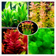 Buy  s, Dwarf Pearl Plants Aquarium Grass Seeds  online