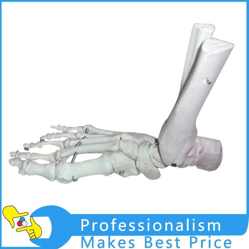 Groß Bein Und Knöchelknochen Zeitgenössisch - Menschliche Anatomie ...