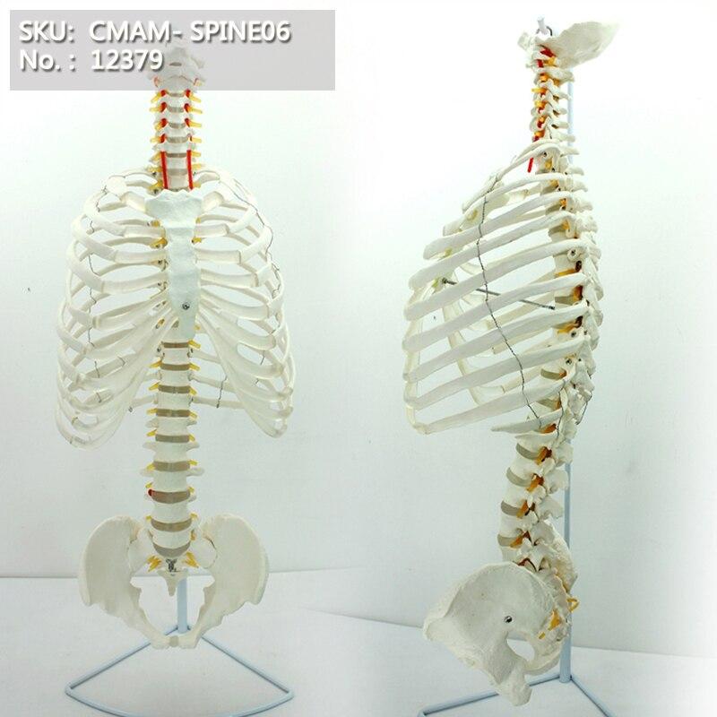 CMAM/12379 Spine, pelvis, rib, Medical Spinnal Column Anatomical Human ModelCMAM/12379 Spine, pelvis, rib, Medical Spinnal Column Anatomical Human Model
