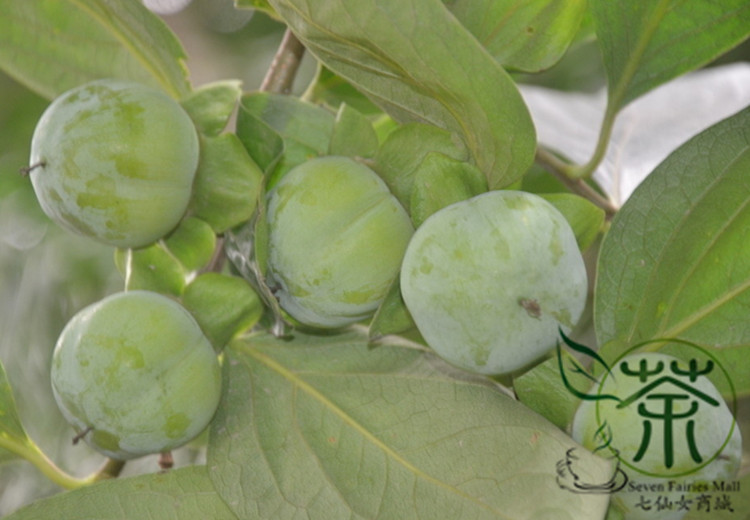 ^^Family Ebenaceae Diospyros Kaki ^^^^ 120pcs, Deciduous Tree Kaki Persimmon Fruit ^^^^, Widely Cultivated Asian Persimmon ^^^^