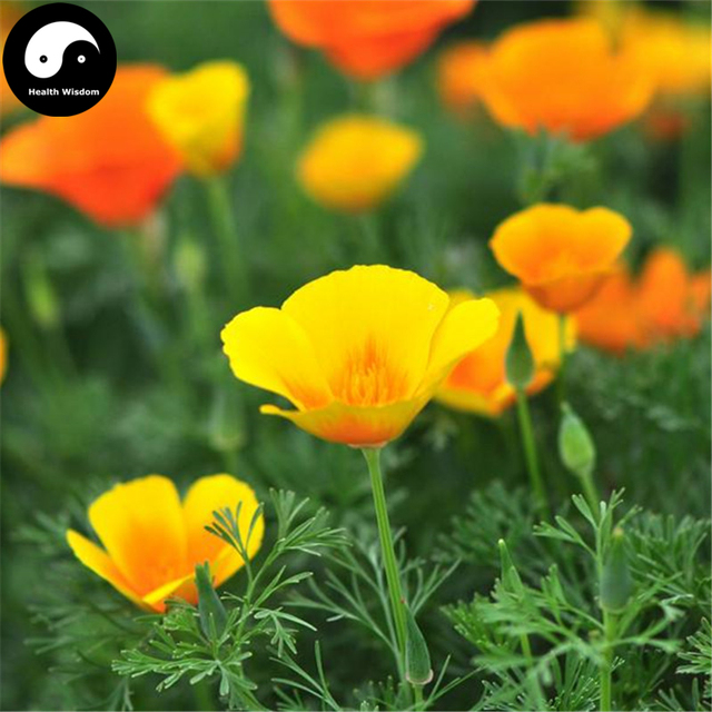 Buy Eschscholtzia Californica Flower Semente 200pcs Plant California