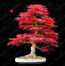 50pcs Canada Colorful Maple Tree Seeds Mini Plants bonsai plant DIY home garden leaf can change from green to red free shipping(China)