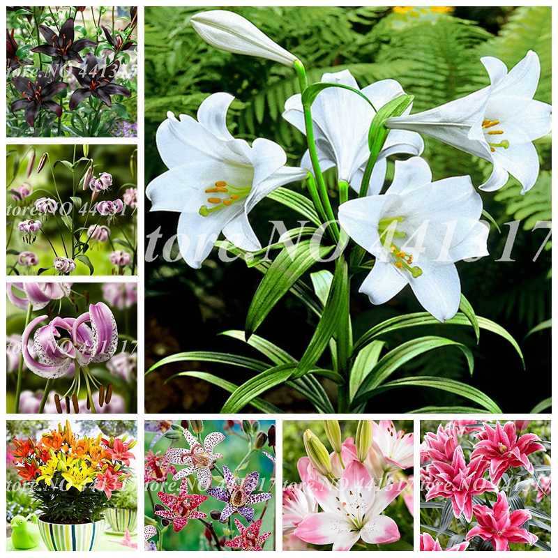 100 Pcs Specials Pink Heart Lily Plant Potted Bonsai Plant Lily Flower for Home Garden Flore Pot Planter Germination Rate of 95%
