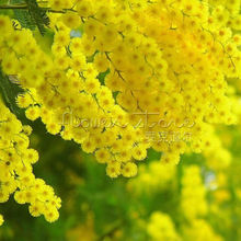 20 Golden Mimosa Seed Acacia Baileyana Yellow Wattle Tree Flower Seeds