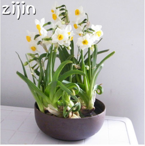 100Pcs Narcissus Flower Bonsai Daffodil Double Petals Absorption Radiation Potted DIY Home Garden Planting 1