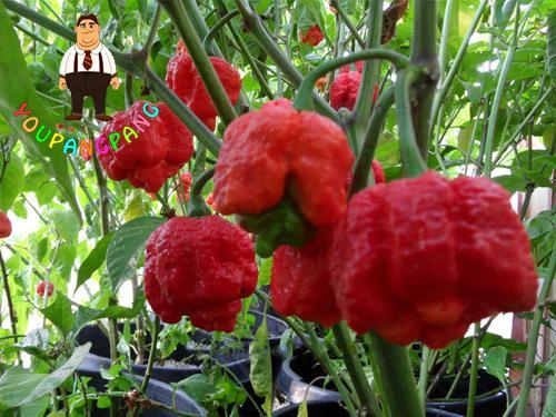 100Pcs Carolina Reaper Chili Pepper bonsai Red Spices Spicy Bonsai Vegetables bonsai Plants Popular Potted Plants For Home&Garde