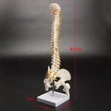 الإنسان العمود الفقري العظام قالب هيكل عظمي 45 سنتيمتر الجلوس الموقف نموذج لتدريب إعادة التأهيل الطبي ، نموذج العمود الفقري ، نموذج العمود الفقري البشري