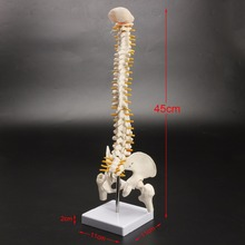 Esqueleto de espina dorsal humana, modelo de postura sentado de 45cm para entrenamiento de rehabilitación médica, modelo de espina dorsal, modelo de espina humana