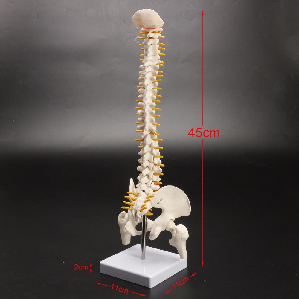 все цены на Human spine bone skeleton model 45cm sitting posture model for medical rehabilitation training, spine model, human spine model онлайн
