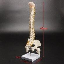 Menselijk wervelkolom bot skelet model 45 cm zithouding model voor medische revalidatie training, wervelkolom model, menselijke wervelkolom model