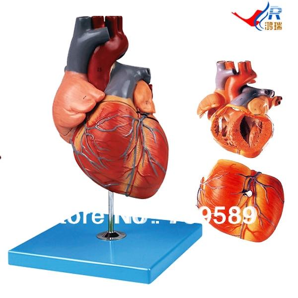 ISO Deluxe Jumbo Human Heart Model, Anatomical Heart model human larynx model advanced anatomical larynx model