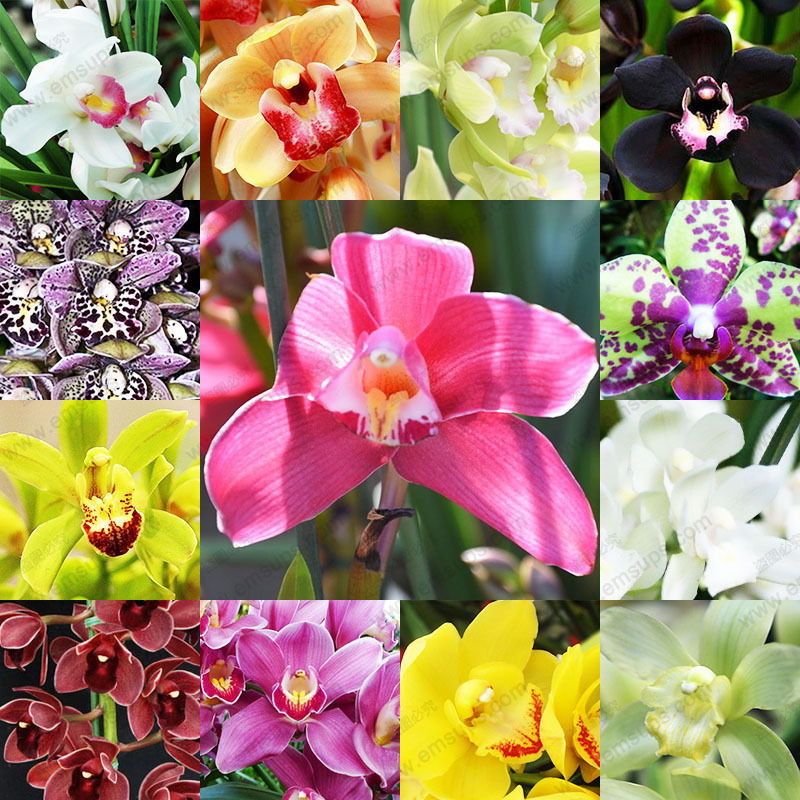 13 Kinds Color Flower Orchid Seeds Potted Flowers Cymbidium Faberi Seeds Balcony Pot Plant Seeds 1 Bag 100 PCS
