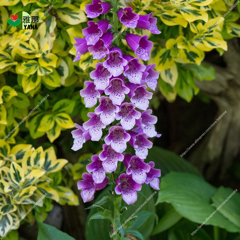 Image 3 - Golden Bell Flower Foxglove flower bonsai potted plants 30pcs/bag-in Bonsai from Home & Garden