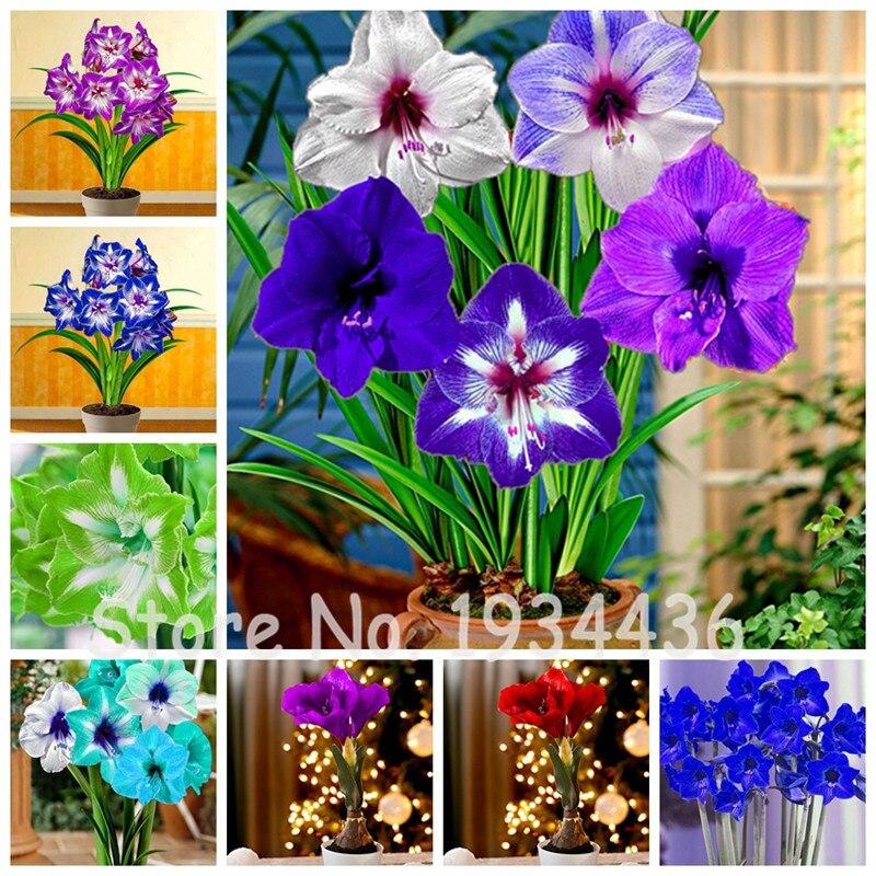 50 шт. Multi Цвет Амариллис Цветочный бонсай Гиппеаструм Barbados Lily (не лампы) цветочные горшки для дома Grove украшения черенки растений