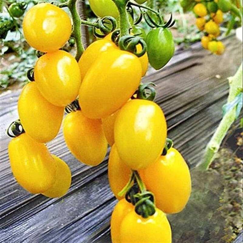 Желтая вишня помидоры семена овощей для выращивания в комнатных условиях украшения сада комнатное растение декор дома plantas