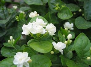 Jasmine Flower Seeds 50pcs Pack White Fragrant Plant Arabian