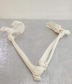 Free shipping&1:1 lower limb bone model, ankle, foot, patella, tibia and fibula, femur, pelvis, medical massagel,Medical anatomy