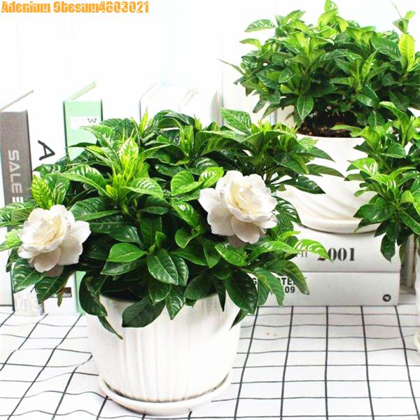 100Pcs Selling! Bonsai Gardenia Flower Very Fragrant Flowers And Stunning Scent Wedding Decoration White Gardenia Flowerpot