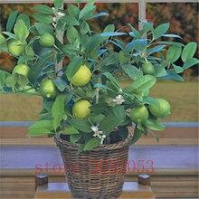 20Pcs Citrus Aurantifolia Key Lime Seeds
