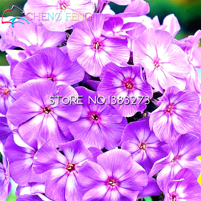 100 pcs a bag phlox seeds potted seed flower seeds mixed colors 100 pcs a bag phlox seeds potted seed flower seeds mixed colors bonsai garden decoration windowsill mightylinksfo Image collections
