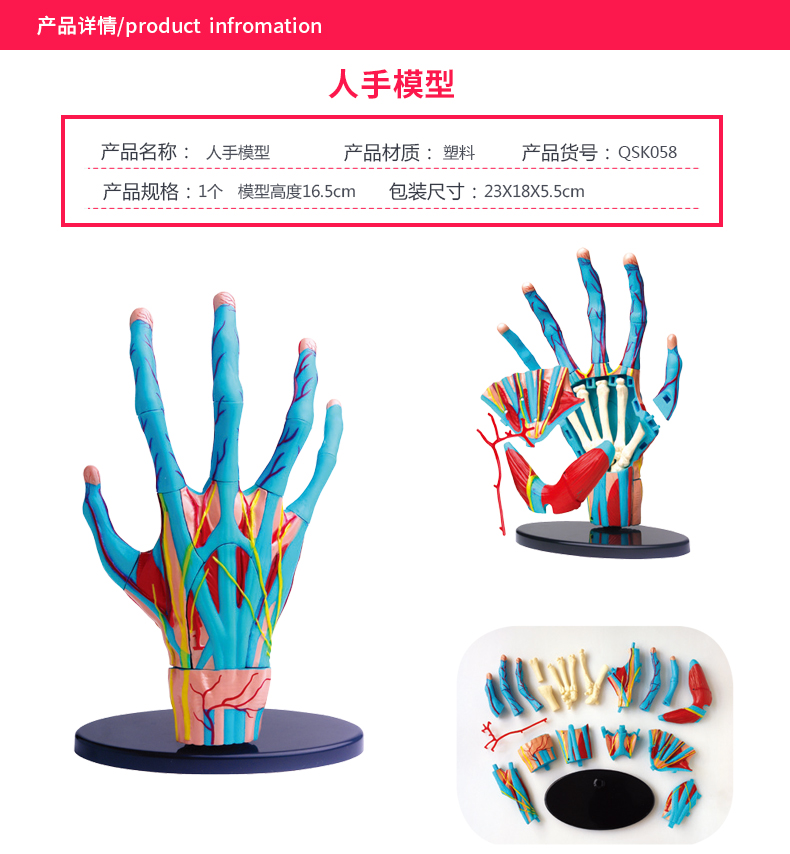 The human hand model the palm of the hand constructs the muscle model
