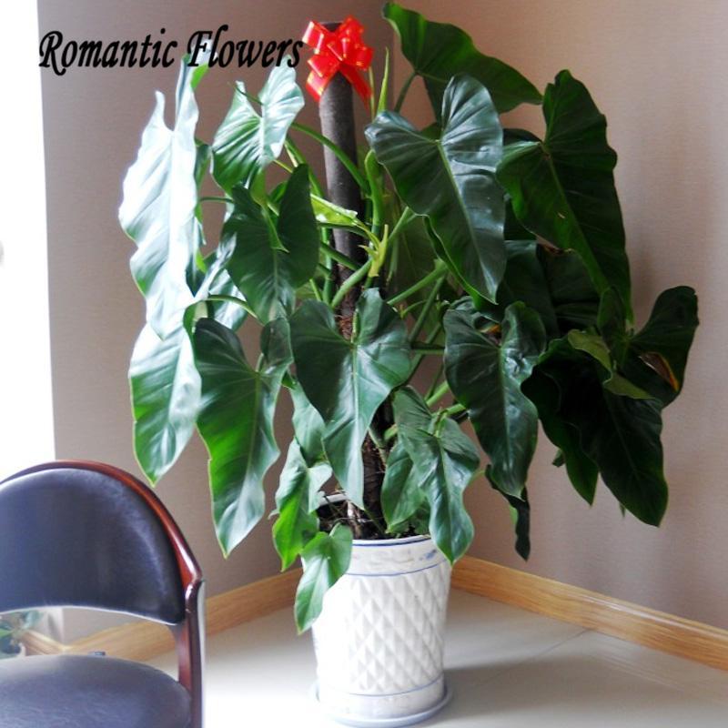 Philodendron plantes achetez des lots petit prix - Plante interieur anti humidite ...