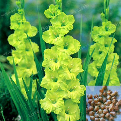 Gladiolus Bulbs(Not Gladiolus Seed), 95% Germination, DIY Aerobic Potted, Rare Gladiolus Bulbs-2 Bulbs