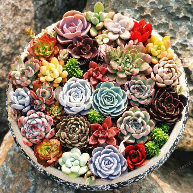 Rare Beauty Succulents Plant Easy To Grow Potted Flower 100 Pcs Bonsai For Home