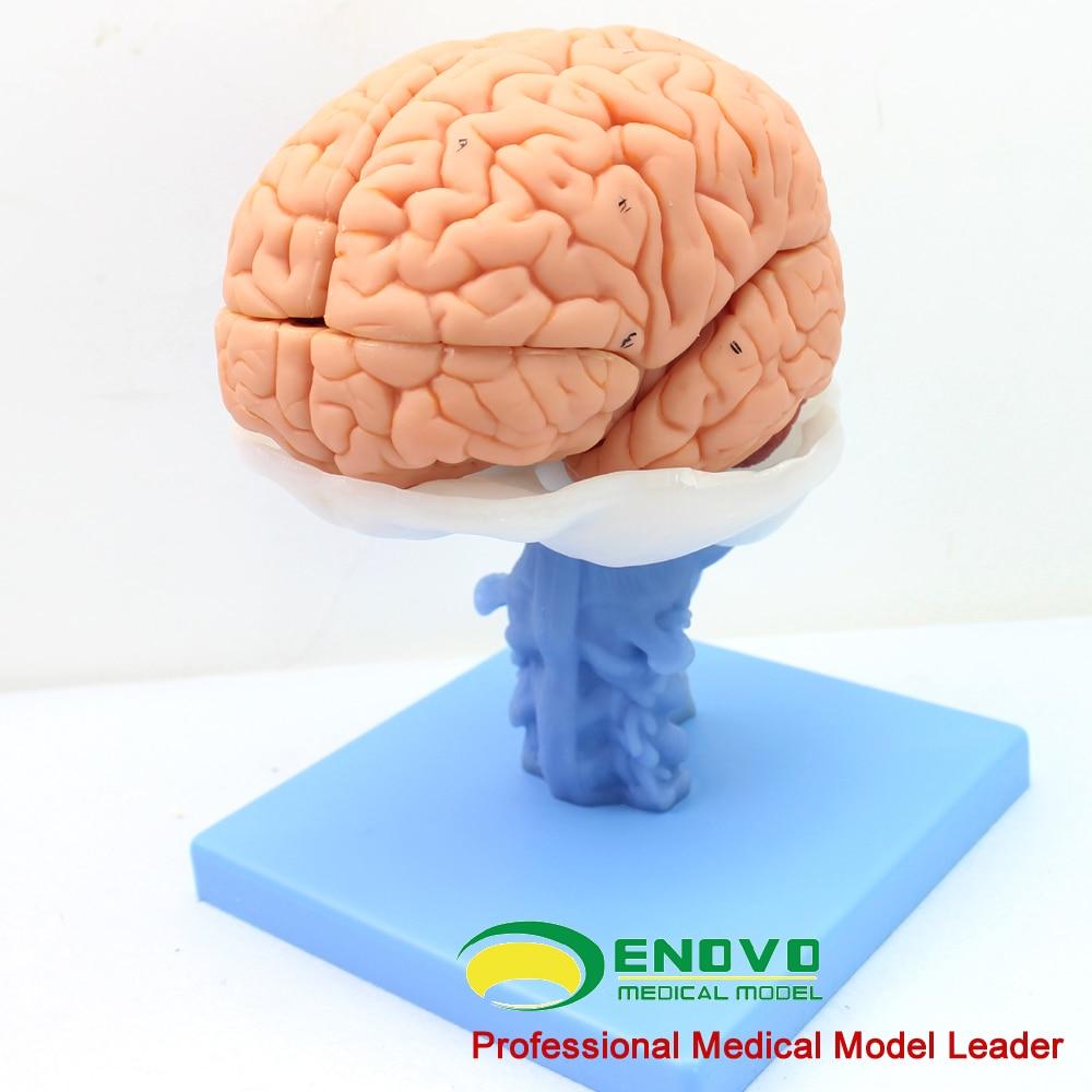 Medical human brain anatomical model brain stem ventricle cerebellar ...