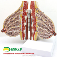 ENOVO Gynecological breast model breast reconstruction of gynecology and obstetrics breast enhancement teaching AIDS
