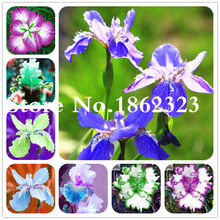 Exotic Iris Bonsai Rare Perennial Flower Ornamental Plants Buddha Hand Bonsai Potted Aquatic Plant for Garden Decor 50 Pcs(China)