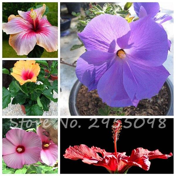 100 Giant Hibiscus Seeds Dinnerplate Hibiscus Perennial Flower DIY ...
