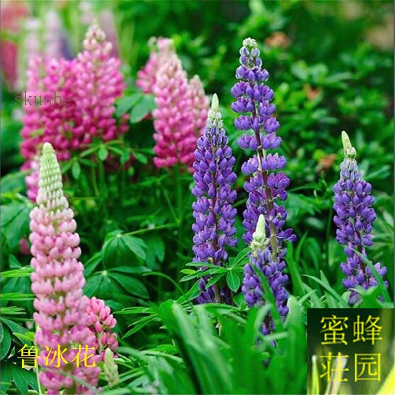 Lupiuns Polyphyllus Lindl Bonsai Lupine Bonsai Flower