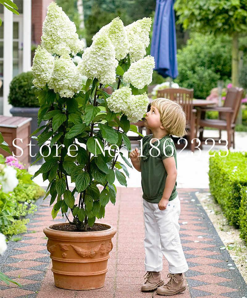 100 ชิ้น/ถุง Bonsai ดอกไม้ไฮเดรนเยียผสมไฮเดรนเยียดอกไม้ Bonsai บอนไซในร่มพืชดอกไม้สำหรับปลูกบ้านสวน