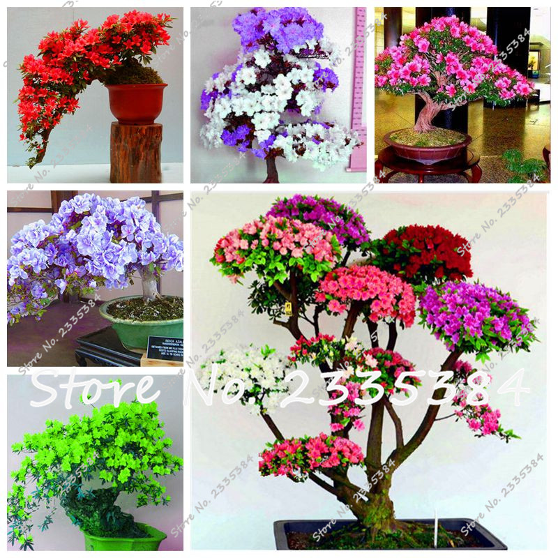 azaleas semillas chino rododendro bonsai semillas de plantas plantas con flores decorativas diy plantacin de