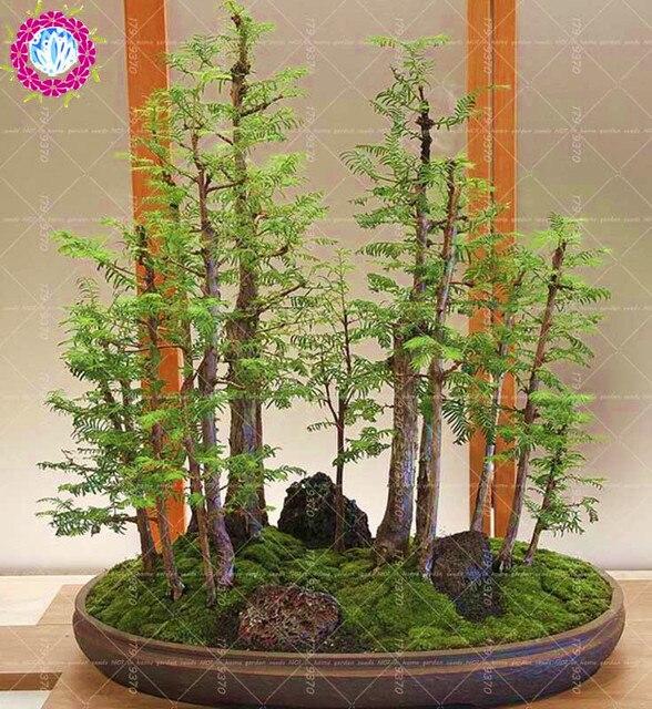 50pcs Dawn Redwood Bonsai Tree Grove Metasequoia Glyptostroboides Bonsai Diy Home Gardening Indoor Plants
