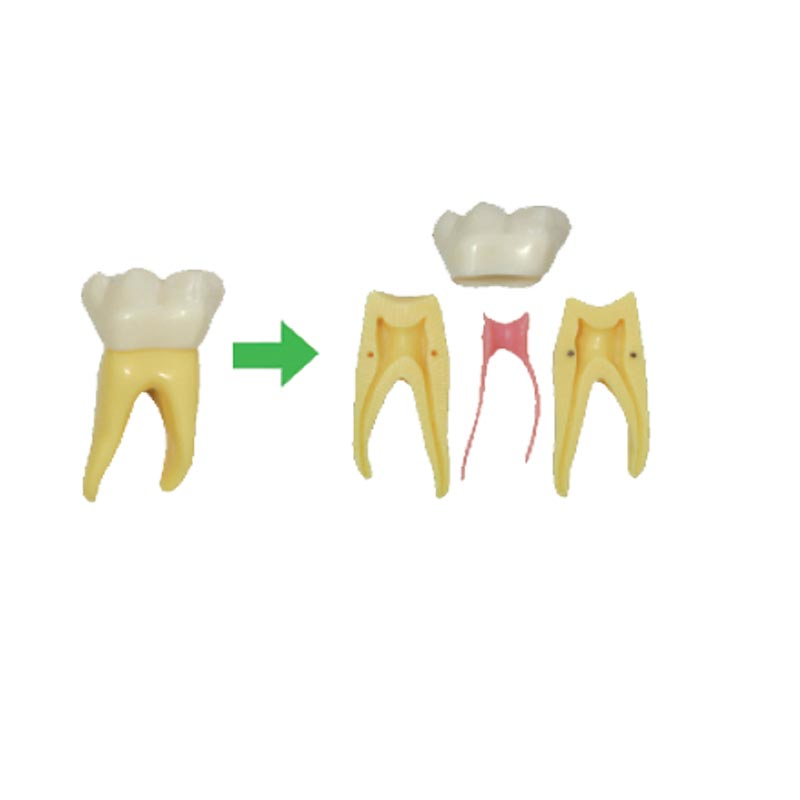 6 Times Anatomy Teeth Showing 6 times composition of teeth crownroot and  pulp Teaching plastic  model6 Times Anatomy Teeth Showing 6 times composition of teeth crownroot and  pulp Teaching plastic  model