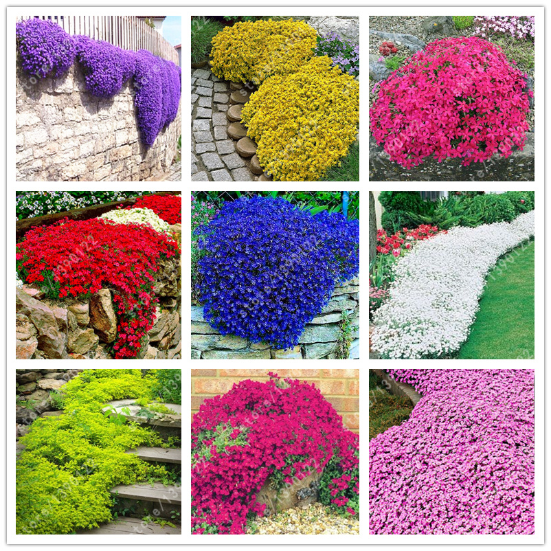 100 pcs bag Creeping Thyme Seeds or Multi color ROCK CRESS Seeds Perennial flower seeds Ground cover flower garden decoration