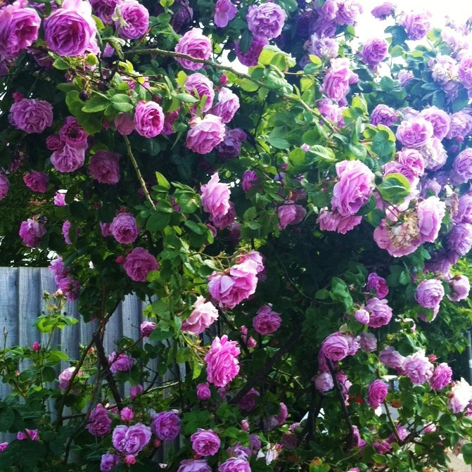 Outdoor Flowers For Sale Part - 19: Marseed 100 Pcs/Pack 100 Pieces Rare Flower Bonsai Beautiful Purple China  Climbing Rose Bonsai