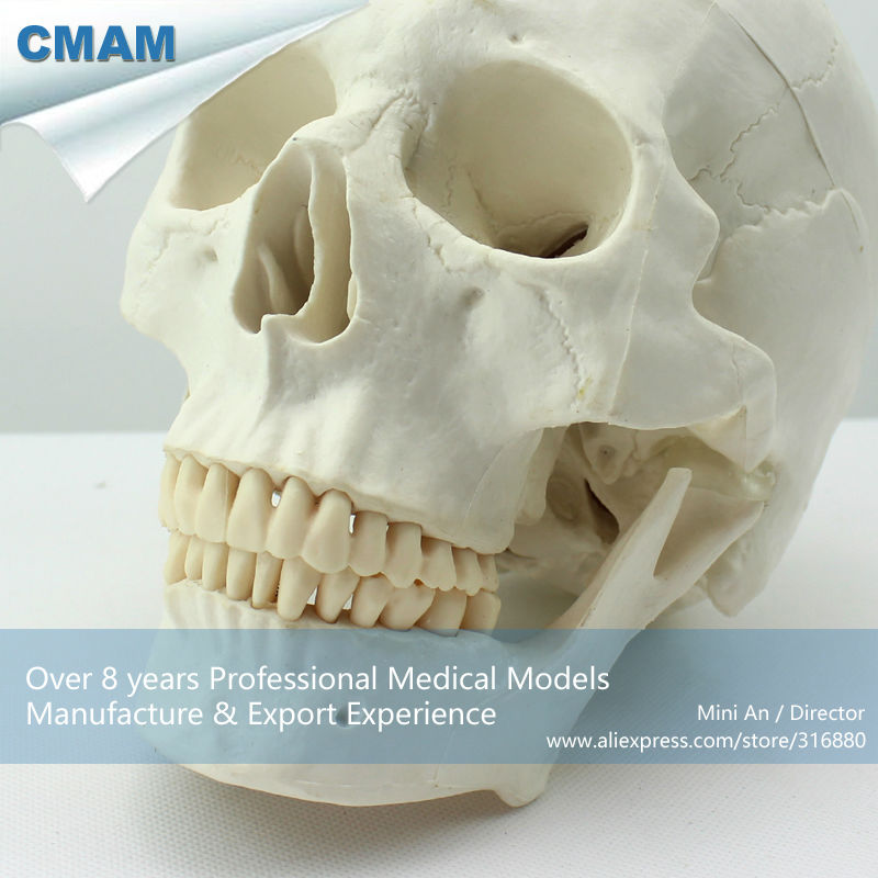 CMAM-SKULL02 Life size Premium Asia Classic Human Skull Model for Medical Science plastic standing human skeleton life size for horror hunted house halloween decoration