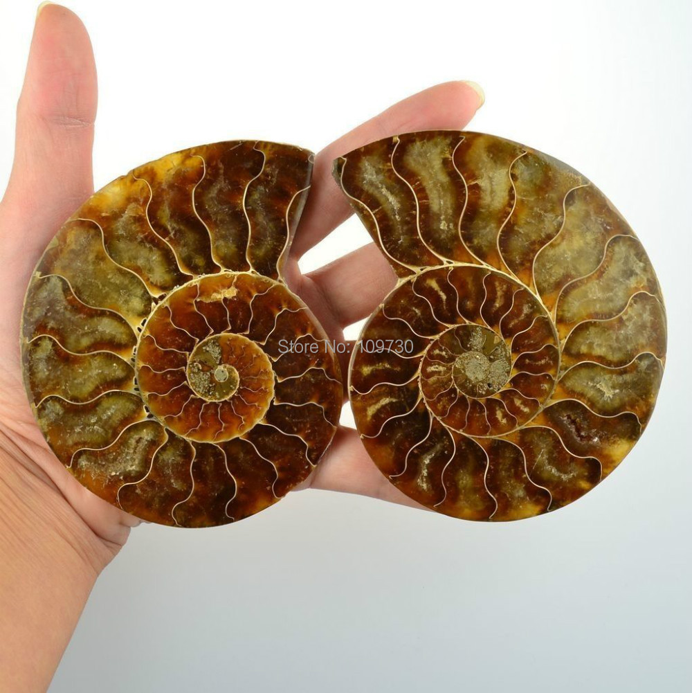 Bijoux 00149 uma paire naturel ammonite ammolite gros fossiles décoration A + + + +