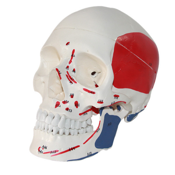 De Tamaño natural de Color Esqueleto Humano Modelo Anatómico con ...