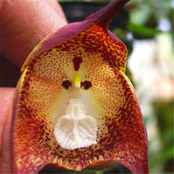 100 unids/bolsa orquídeas cara de mono de las plantas de orquídeas raras interior Bonsai flor plantas de jardín FLORES PLANTAS las plantas de orquídeas