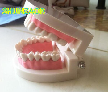 Standard Tooth Teaching Giant Dental Dentist Teeth Child Kidtraining model Extractions of Medical Education Educational Model lower jaw of adult dentition model teeth dental model