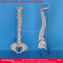 SPINE MODEL, HUMAN SPINE MODEL ,MEDICAL TEACHINGHUMAN SKELETON MODEL BONE SURGERY PRACTICE NATURAL LARGE SPINE -GASEN-RZGL029